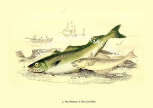 Whiting  - Coal Fish